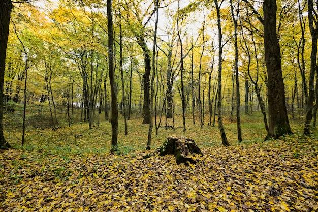 Лес с тонкими молодыми деревьями в осенний сезон