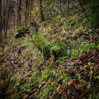 ヨーロッパの苔で覆われた木の幹のある森