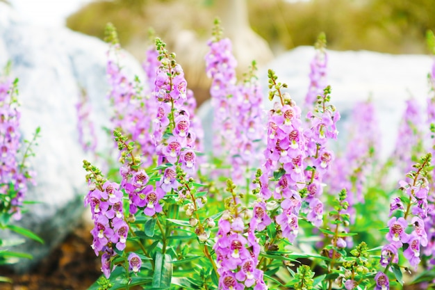 Forget me not, angelonia is biennial plants that can be released throughout the year