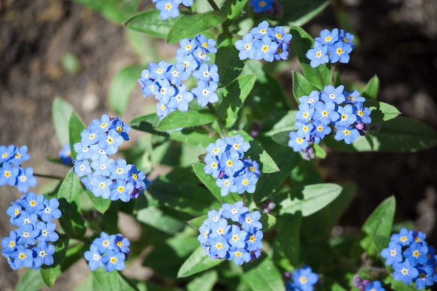 Forget-me-not flowers. blooming flowers nature background