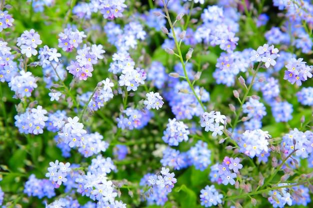 Forget-me-not flowers (myosotis sylvatica) in a garden. shallow dof!