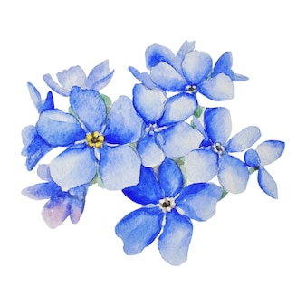 Forget-me-nots are blue. botanical watercolor illustration