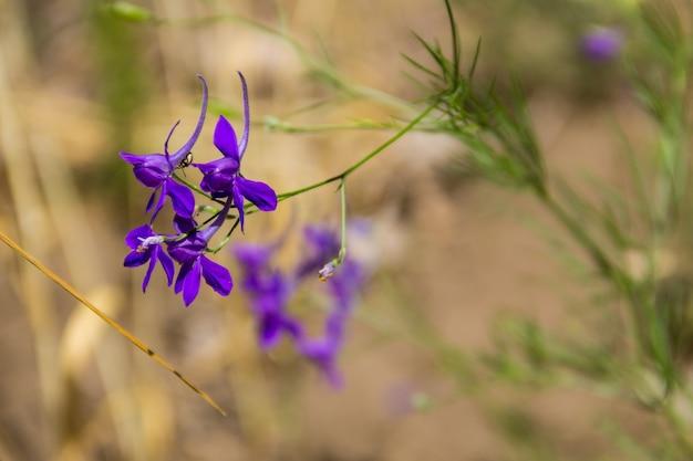 Forking larkspur (consolida regalis) flower
