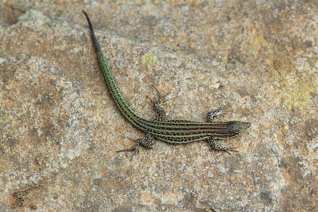 フォルメンテーラトカゲpodarcis pityusensis formenterae