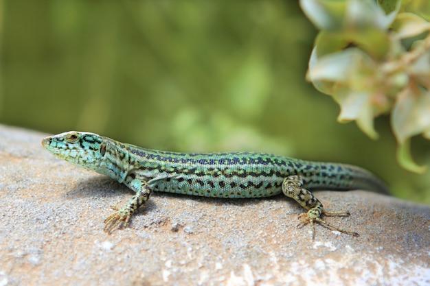 Formentera lizard podarcis pityusensis formenterae