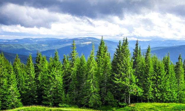산에서 푸른 소나무의 포레스트