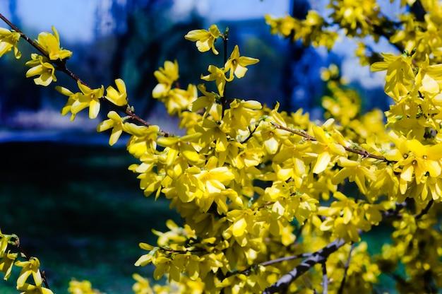 Цветение форзиции ранней весной.
