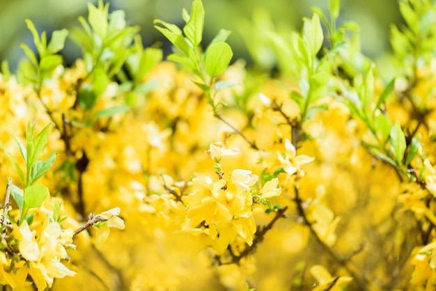 Forsythia spring flowering bush.yellow and green light bokeh blurred from tree