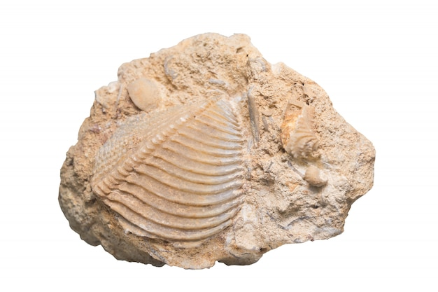 Fossil ammonite isolate  with clipping path