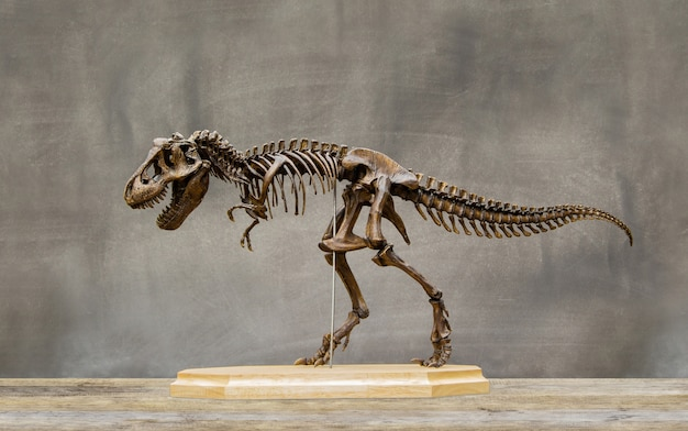 Fossil skeleton of dinosaur king tyrannosaurus rex