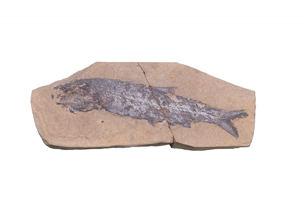 Fossil with clipping mark