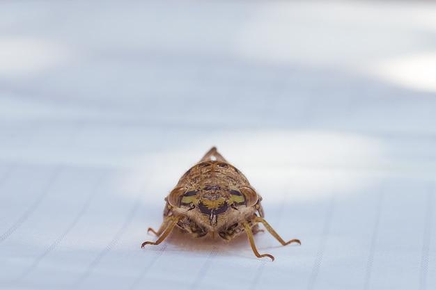Нашел эту цикаду в моей белой ткани, какие у тебя большие глаза