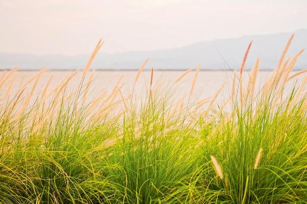 Fountain grass, dwarf fountain grass, foxtail fountain grass
