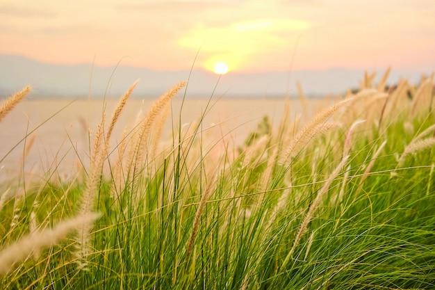 Fountain grass, swamp foxtail grass or dwarf fountain grass