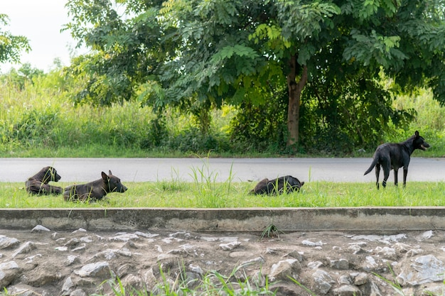 Four black stray dogs were lying on the street waiting for people to come.