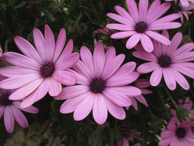 Four blooming purple pink flowers in greek island