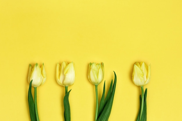 Four blooming yellow flowers tulip. spring flowers for holiday, womens or mothers day. flat lay.