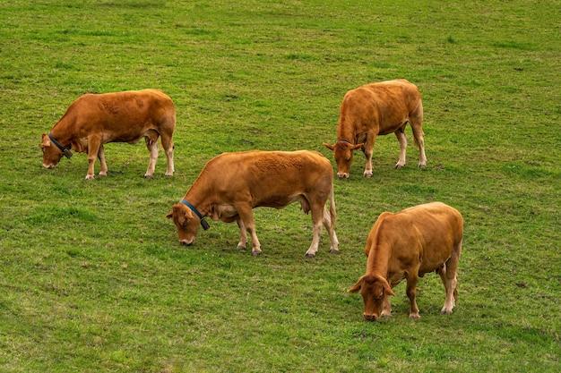 흐린 날에 녹색 언덕에 pasturing 4 갈색 소