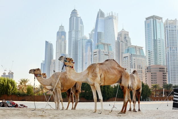 Four camels stand on the beach against the backdrop of modern skyscrapers in the dubai marina district