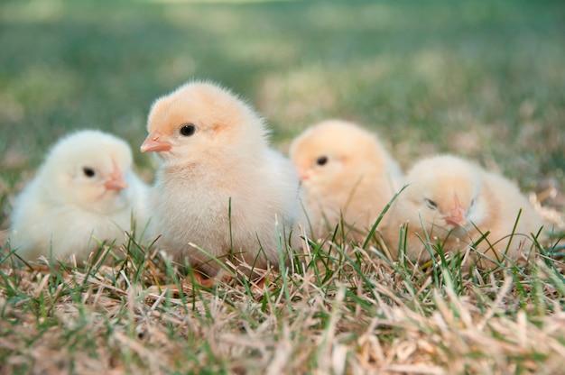 Четыре цыплят, сидящих на некотором газе