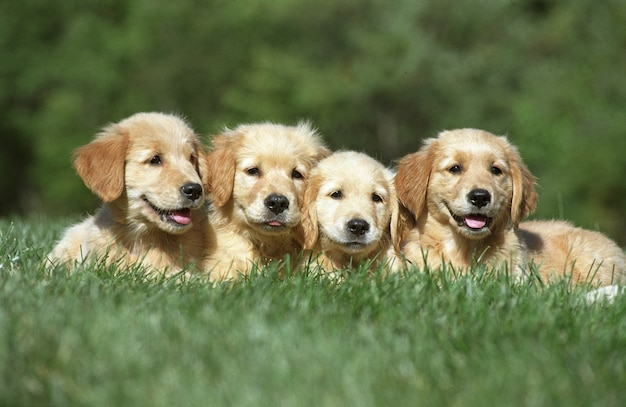Four cute golden retriever puppies resting on a grass ground