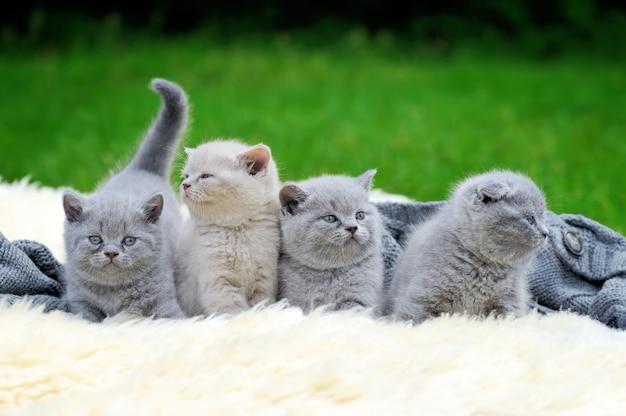 Four cute gray kitten on fur white blanket on nature
