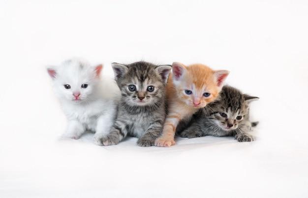白い背景の上の4匹の異なる子猫が一緒に群がります