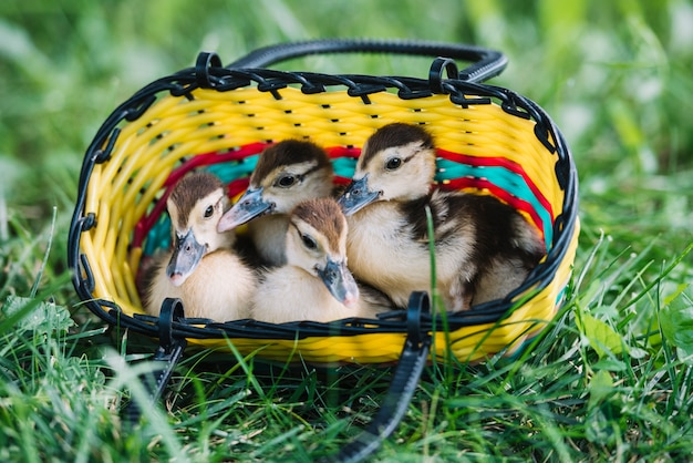 Four duckling sitting inside the colorful basket on green grass