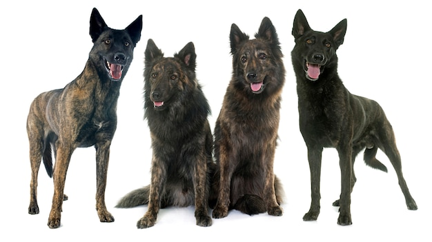 Four dutch shepherds