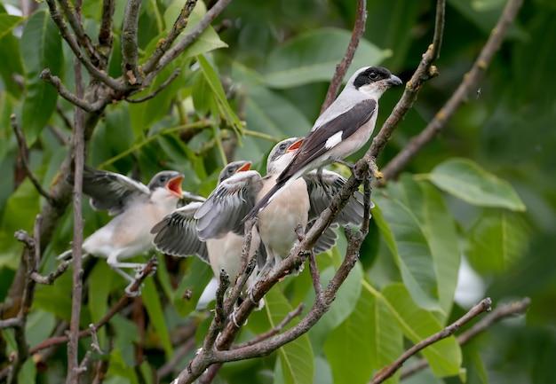 4마리의 작은 회색 까치(lanius minor) 병아리는 부모가 먹이를 주는 동안 나뭇가지에 전체 샷으로 사진을 찍었습니다. 재미있고 특이한 상황