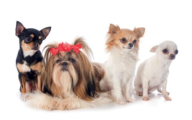 4匹の小さな犬