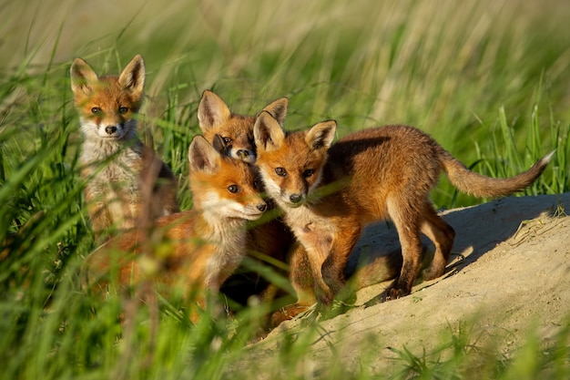 Four little red fox near den curiously watching around