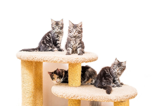 Four maine coon kittens with a long fluffy tail are sitting on a scratching post isolated