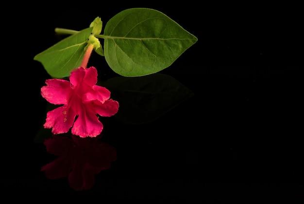 4시 또는 미라빌리스 할라파 꽃은 검정색 배경에 격리되어 있습니다.