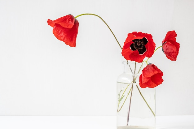 Four red delicate poppies in glass vase isolated on white background