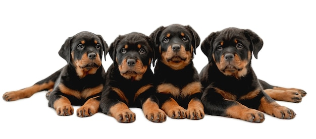 Four rottweiler puppies lie isolated on white backgroung and looking at camera