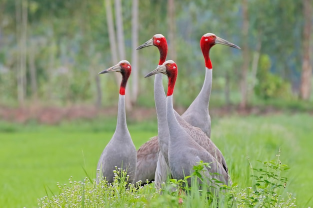 Four sarus crane grus antigone beautiful birds of thailand