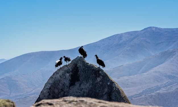 Four turkey vulture bird standing on a rock with mountains background