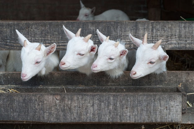 Four white cute goats in the stall
