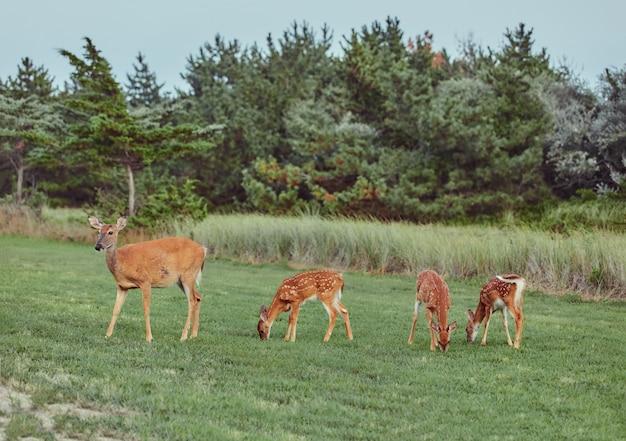 森で屋外で4つの野生の鹿が大胆不敵な美しいとかわいい草を食べる