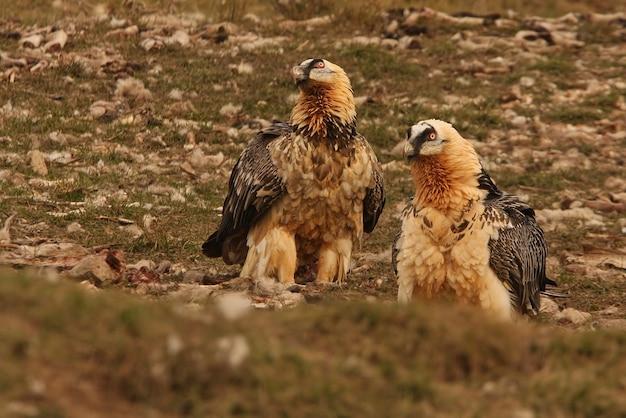 Четыре года и взрослый lammergeier, падальщики, стервятники, птицы, gypaetus barbatus