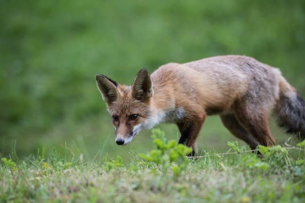 Fox cub while hunting. european red fox kid