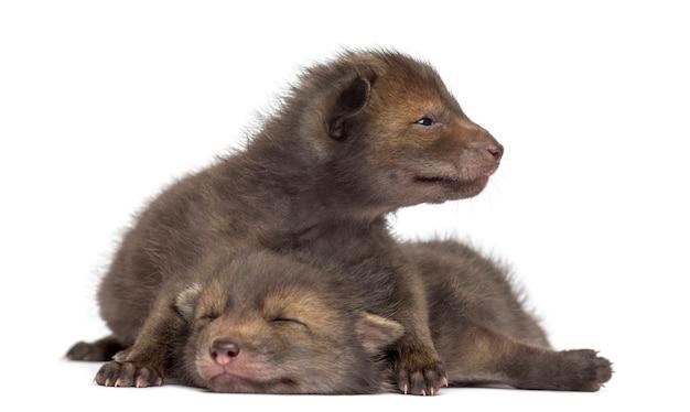 Детеныши лисы, лежащие перед белой стеной