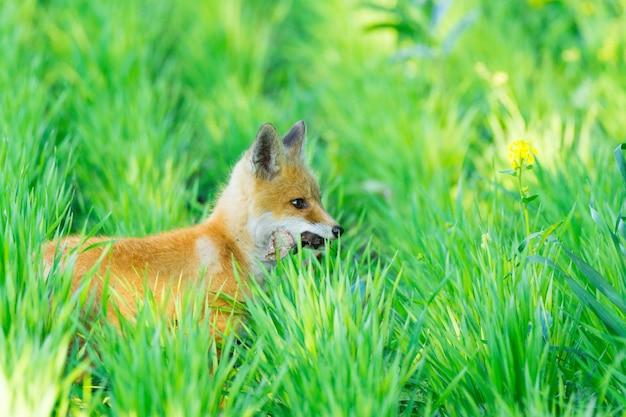 Fox on the grass