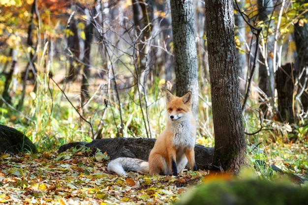 Fox looking out through the trees in the mystical forest in autumn.