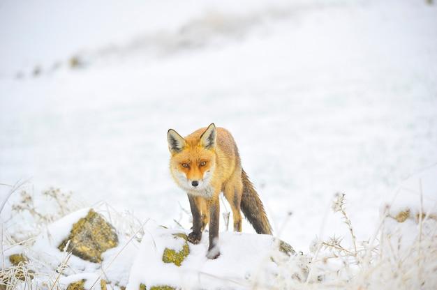 雪原で、完全に自由に嗅ぐキツネ。