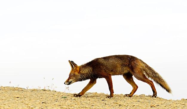 狐は完全に自由に嗅ぎ、疑わしく狡猾です。
