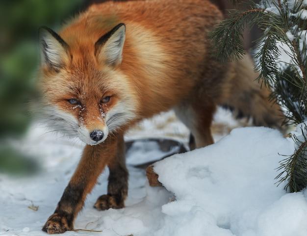 A fox in the snow