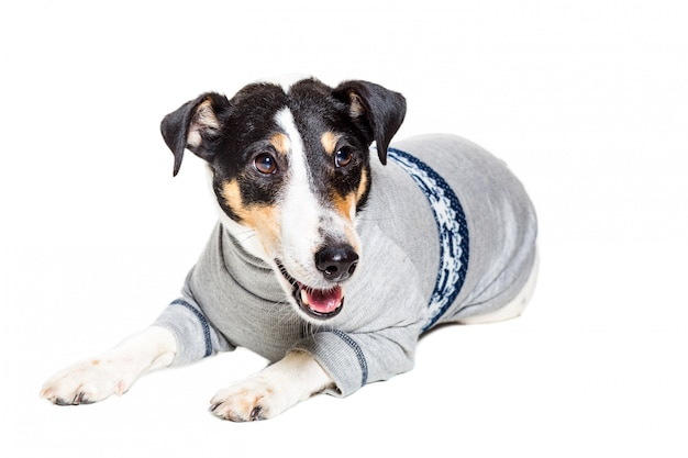 Fox terrier posing on white