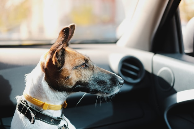 Fox terrier sitting in a car and waiting for his owner. the concept of transporting pets in the car, traveling with dogs in the car and leaving the dog alone inside the vehicle
